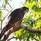 New Zealand Falcon or Kārearea