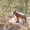 Fox Cub in Late Afternoon (cropped)
