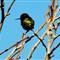 Birds of Alviso
