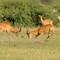 Lekking Ugandan Kobs