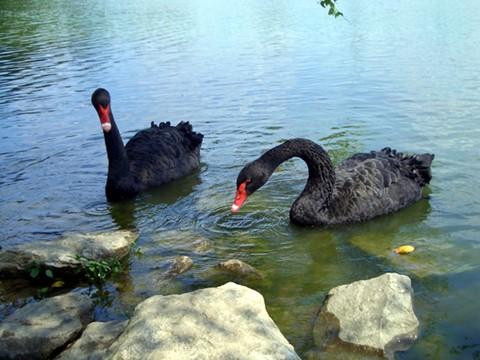 Black-Swans