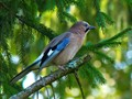 Jay sitting on a pine