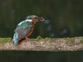 Kingfisher and its prey