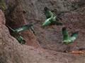 Mealy Parrots (Ecuador)