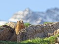 Marmot in front of Pic de La Grave, French Alps