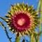 Thistle Bloom in June