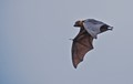 Grey-Headed Flying Fox [Megabat] (Pteropus Poliocephalus)