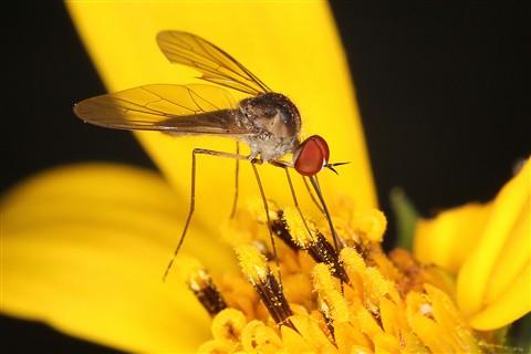 Fly on Sunflower 2253