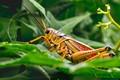 Colorful Eastern Lubber grasshopper enjoying the morning shade.