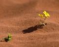 Wildflower Sossusvlei Namibia