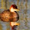 Titicaca Grebe Reeds