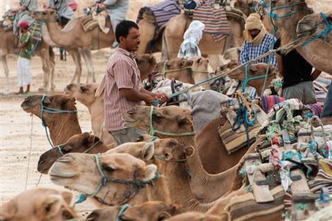 camel-1