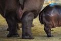 Hippo Legs-2178