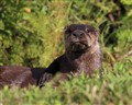 Florida River Otter 1