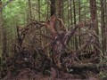 Uprooted. Tongass National Forest