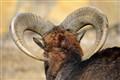 [Skopje ZOO] Mouflon