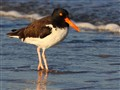 Early Morning American Oystercatcher