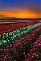 Soft Tulip Sunrise