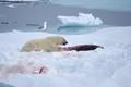 Polar Bear with Bearded Seal