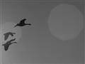b&w geese