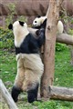 Pandas at Chengdu