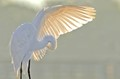 wingspread of egret preening