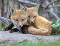 Two fox cubs