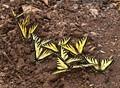 Swallowtail Swarm