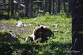 Grizzly bears playing in the forest
