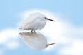 Snowy Egret on calm water