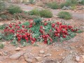 Sturt Desert Pea -Broken Hill