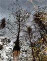 Cypress Tree Reflection