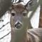 deer - crop