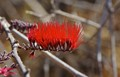 Bright red comb on a dull spindly bush - Ruaha Wildlife Reserve - Tanzania