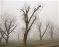 Pecans in the Mist