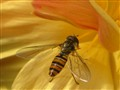 Hover_fly2