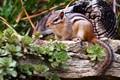 Free-Range Rodent