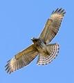Red Shoulder Hawk flying overhead