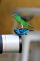 Blue dacnis female and male!