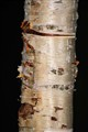 Rusty White Bark Tree copy