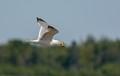 Herring gull, Downeast Maine