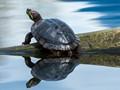 Turtle replication.