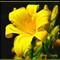 YellowDaylily