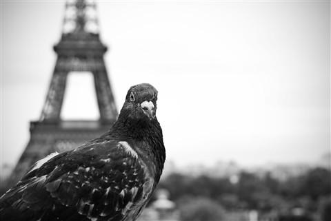 ParisPigeon2