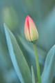 April tulip