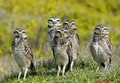 Burrowing owls Family !