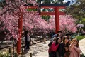 Sakura (cherry blossom) Selfie