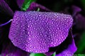 Dew on a Pansy