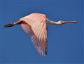 Flight of the Spoonbill