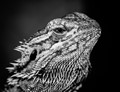 Bearded Dragon in Black and White